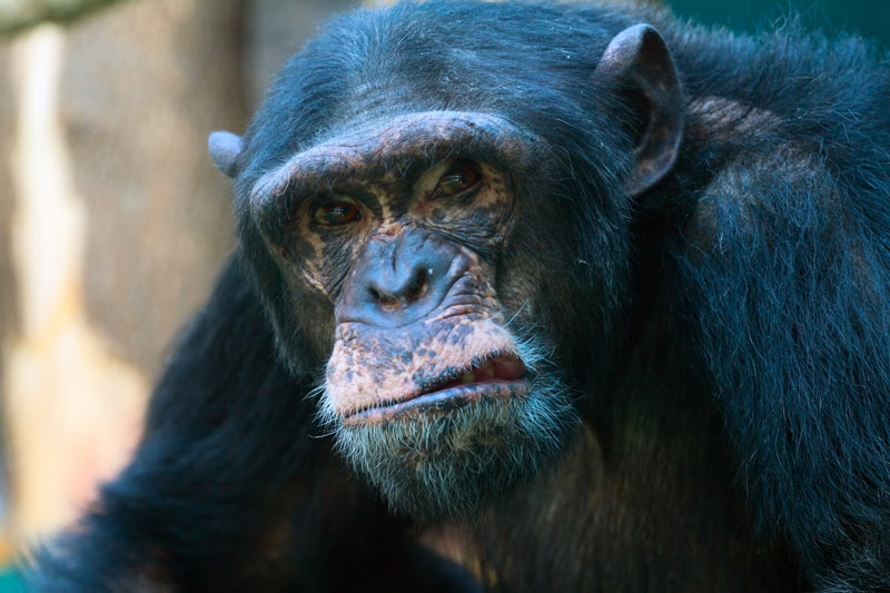Kan du tøjle din indre chimpanse?