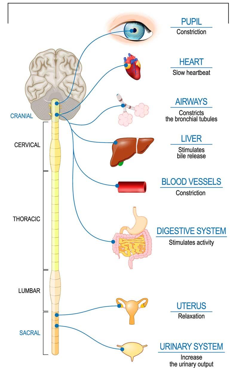 Meditation og det parasympatiske nervesystem