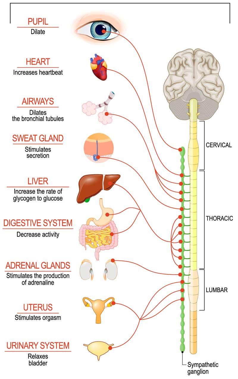 Meditation og det sympatiske nervesystem